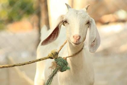 Mengenal Macam Macam Binatang Untuk Qurban
