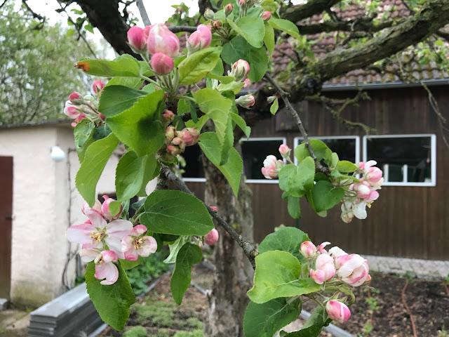 beginnende Apfelblüte (c) by Joachim  Wenk