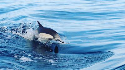 Wallpaper HD Dolphin, Sea, Water, Waves