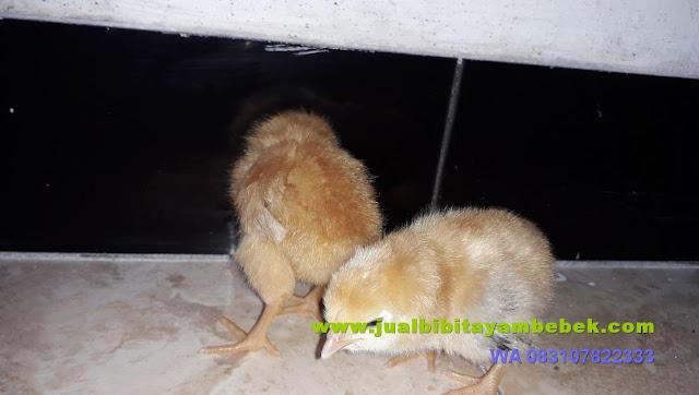 ayam broiler 21