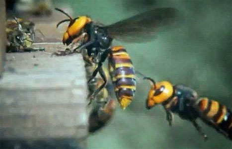 30 «Σφήκες της Κολάσεως» κατασπαράζουν 30.000 μέλισσες! (Βίντεο)