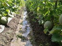 Cara Mudah Budidaya Melon Dengan Bantuan Mulsa Plastik