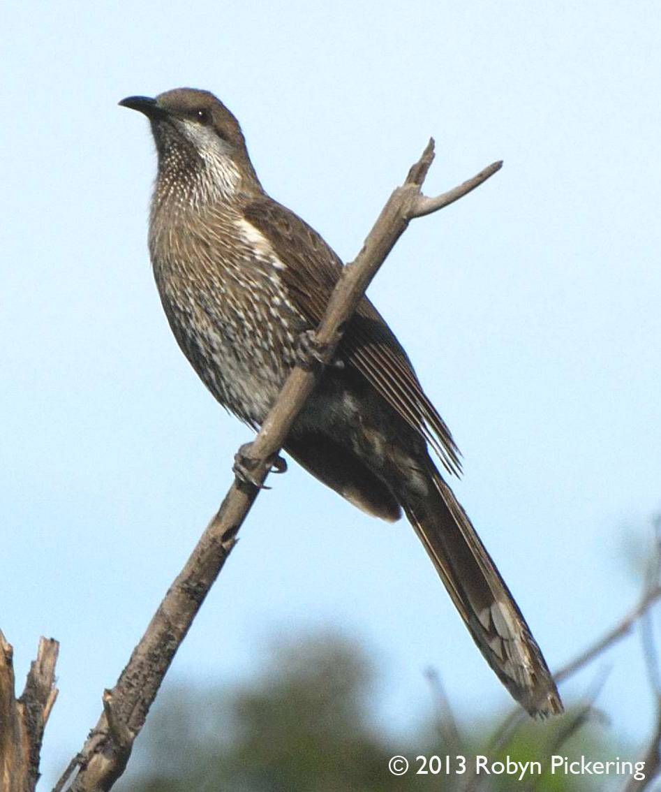 Western Australian Native Plants: Leeuwin Current Birding: South-west Endemics Part 3