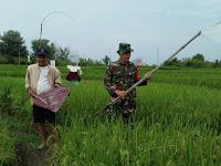 Koramil 09/TB Kerahkan Babinsanya Bantu Petani Jaga Padi dari Serangan Hama Burung