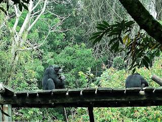 Chimpanzés do Parque Zoológico de Sapucaia