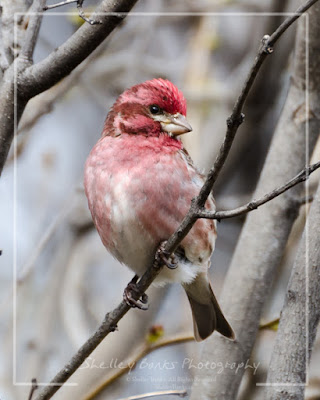 Purple Finch. Copyright © Shelley Banks, all rights reserved