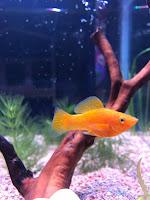 little golden fish