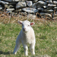 Photos of Ireland: Spring lamb in Dingle