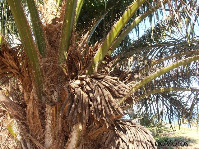 Detalle de la PALMA DEL ACEITE Elaeis guineensis