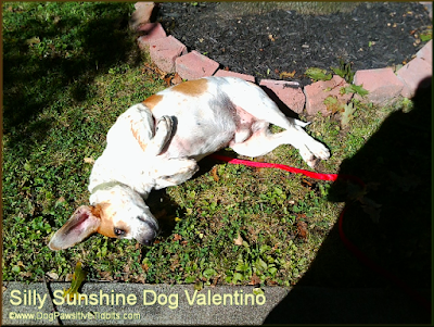 Silly Sunshine Dog Valentino
