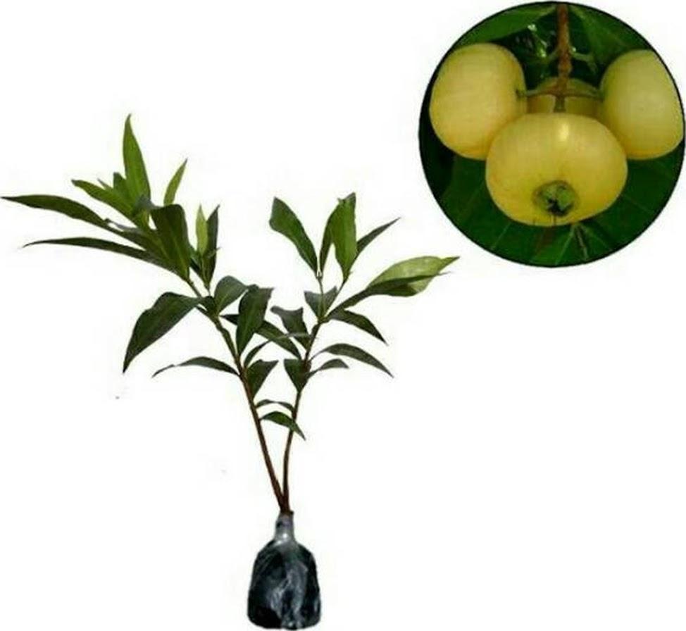 Bibit tanaman buah jambu air mawar Kota Administrasi Jakarta Timur