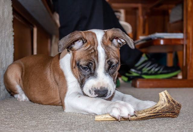 Photo of Ruby with her new stag antler chew