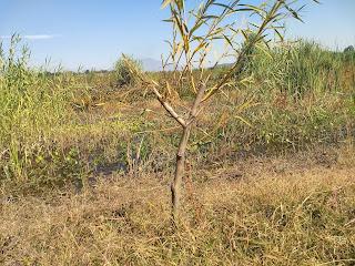 laguna de yuriria lake conservation reforestation ecosystem guanajuato mexico willow cutting sauz salix