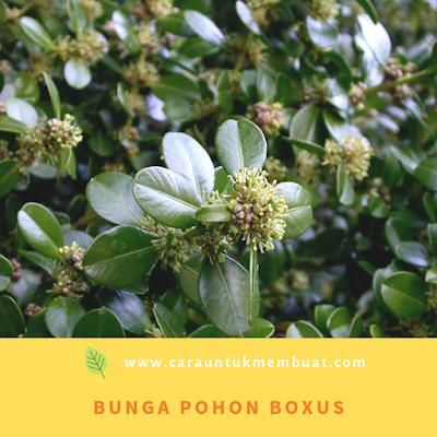 Bunga Boxus
