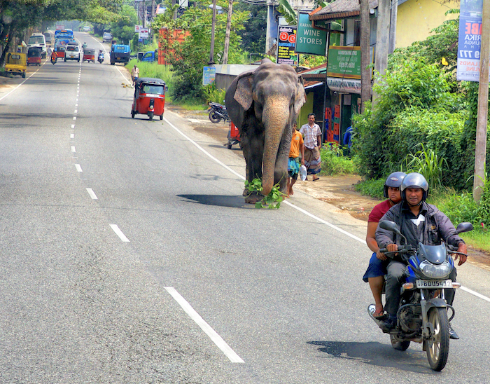 słonie, Sri Lanka, słonie na Sri Lance, Pinnawala sierociniec dla słoni, Podróże, Yala National Park, Minneriya, Uda Walawe, ile kosztuje słoń, Pinnawala cena biletu, gdzie zobaczyć słonia