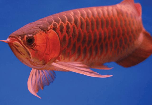 Info Supplier Jual Bibit Ikan Arwana Jambi Cepat Tanggap