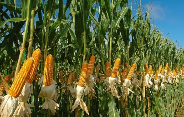 Κερδίζει εκτάσεις η καλλιέργεια καλαμποκιού στη Λάρισα