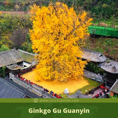 Ginkgo Gu Guanyin
