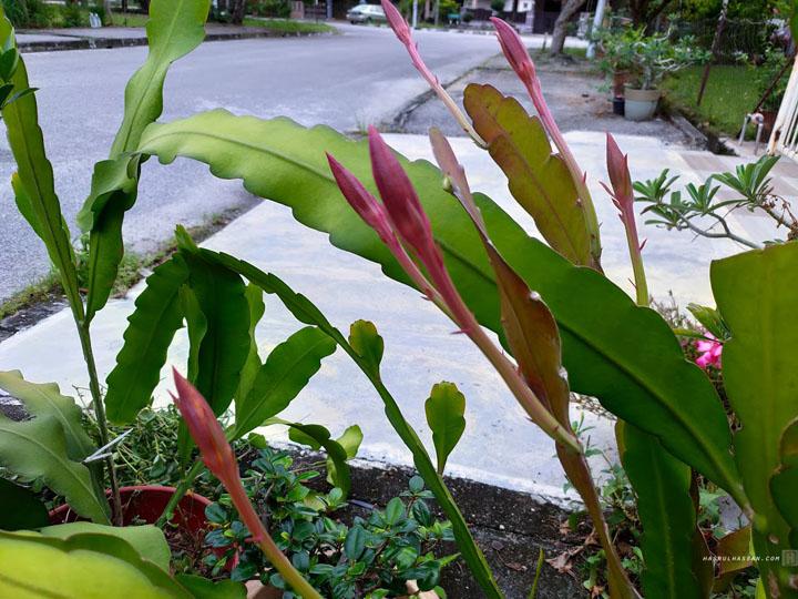 Pokok Bunga Bakawali