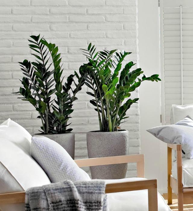 Plantas de interior altas - Plantas de interior online ...