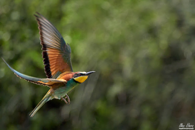 Bee-Eater after Takeoff