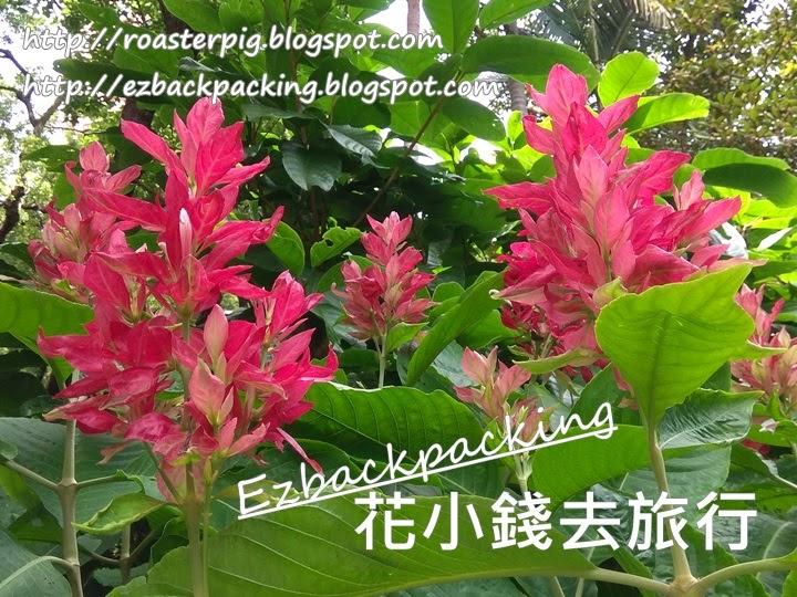 赤苞花 香港
