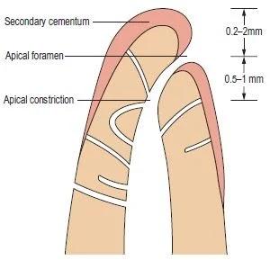 Apical Anatomy