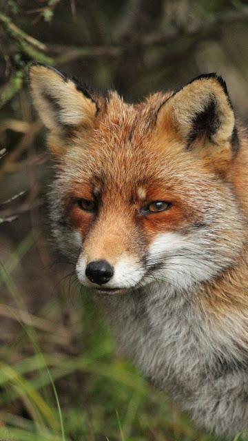 Free wallpaper fox, predator, animal, wildlife
