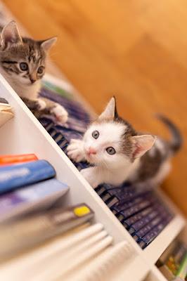 Two kittens climb a bookshelf