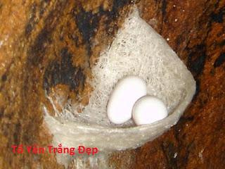Tổ yến trắng có hai quả trứng.