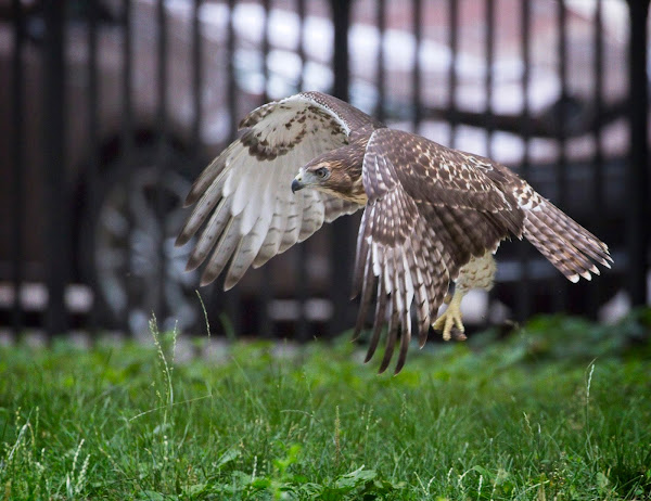 Tompkins Square red-tail fledgling 15