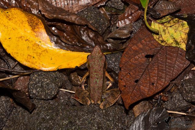 Warszewitsch's Frog - Lithobates warszewitschii