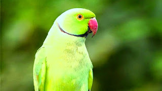 burung-beo-indian-ringneck