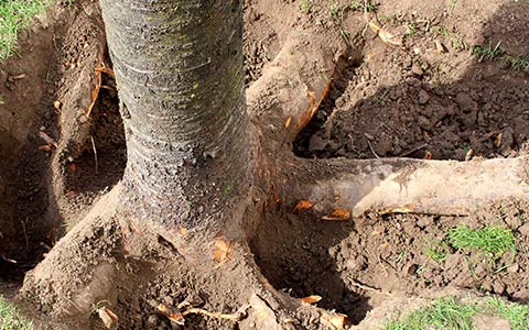 Exposing tree roots to cut them and remove the stump