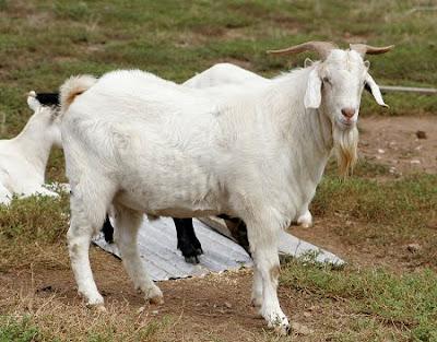 keutamaan ternak kambing dalam islam