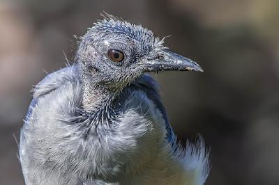 ما هي أسباب الصلع عند الطيور وطرق الوقاية والعلاج ؟