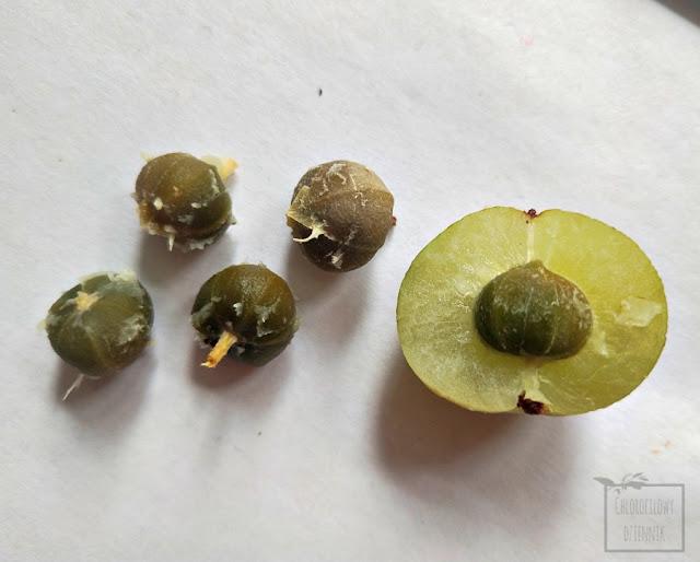 Amla indyjski agrest liściokwiat garbnikowy (Phyllanthus emblica) indian gooseberry owoc smak opis uprawa siew nasiona sadzonki pestki co to jest jak