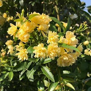 hoa hồng leo rosa banksiae