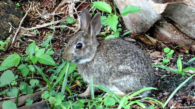 Young Marsh Rabbit Visits Florida Backyard