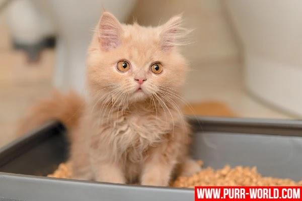 ظهور الدم في براز القطط