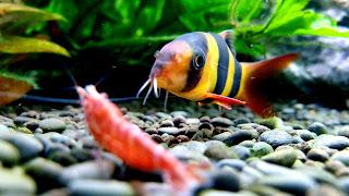 Clown Loach and Shrimp Wallpaper