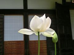 光則寺のハス