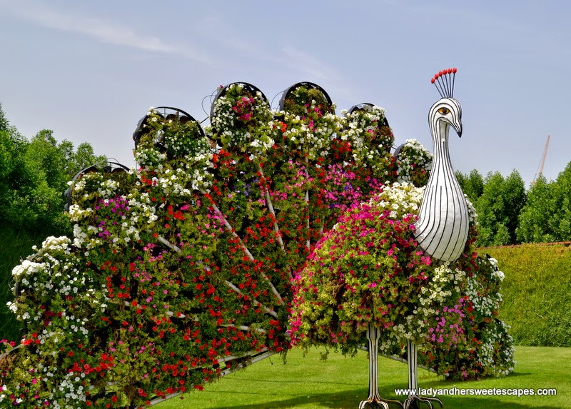 peacock at Dubai Miracle Garden