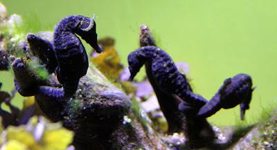 knysna-seahorse-flickr-flowcomm