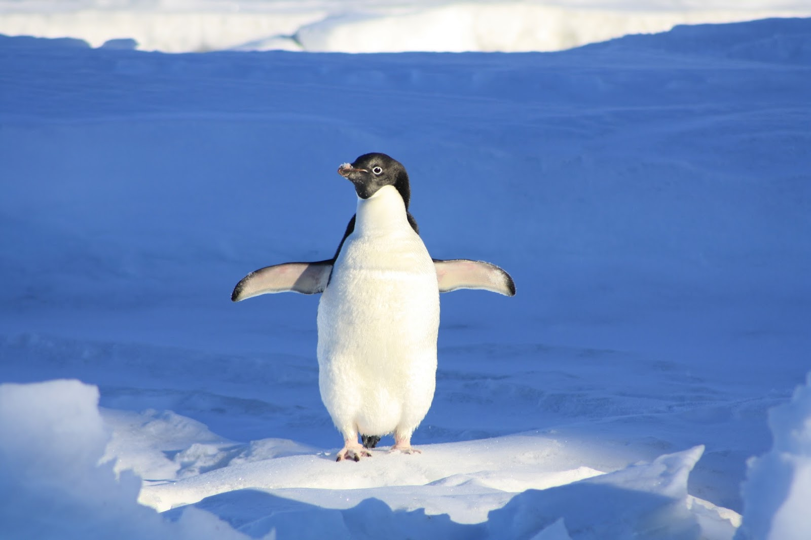 Penguin feet on ice.