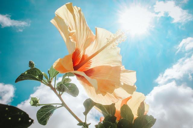 Hibiscus Wallpapers in 4K - Pics Directory