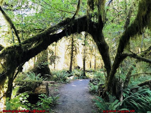 Hoh Spruce Nature Trail