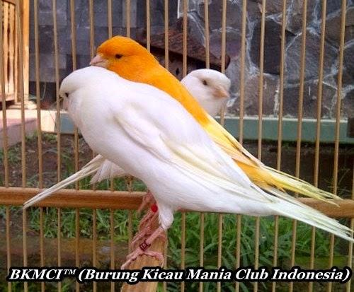 Cara Merawat Burung Kenari Agar Cepat Gacorbkmci Burung Kicau Mania Club Indonesia