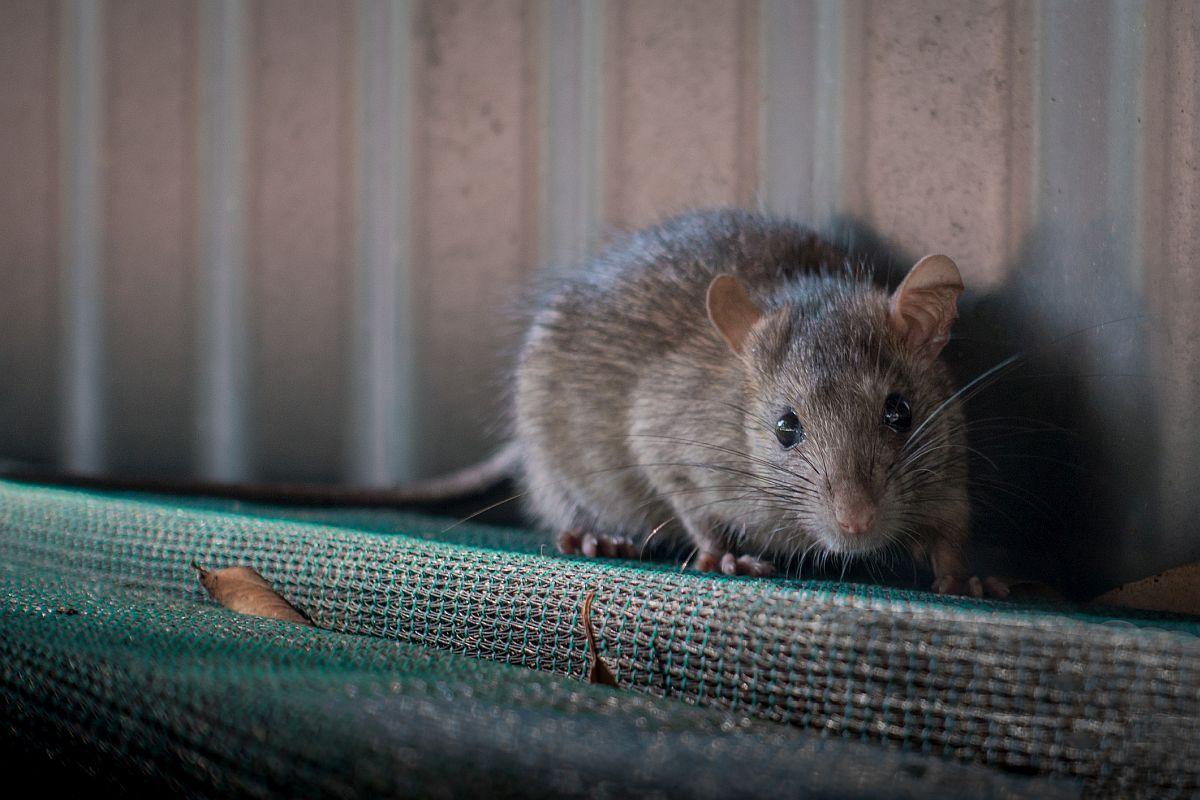 hantavirus spread through rats