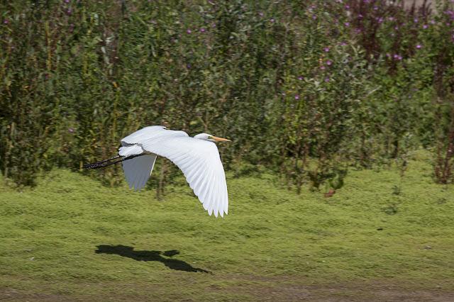 Great White Egret in flight